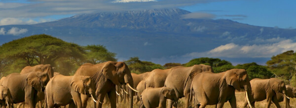 Safari and Kilimanjaro: Elefants infront of Africa's highest mountain.