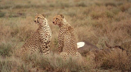 Geopards in the Serengeti.