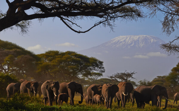 Safari: Amboseli Elephants and Kilimanjaro (c) Felix Berg