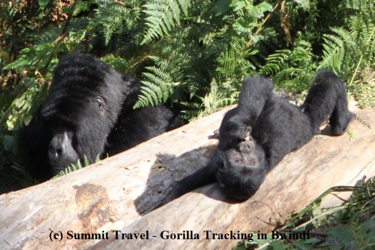 Gorillas beim Trekking im Bwindi Impenetrable National Park - Reise Uganda | © Summit Travel Uganda (c) Felix Berg